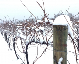 Holly's Garden, Snowy Vines